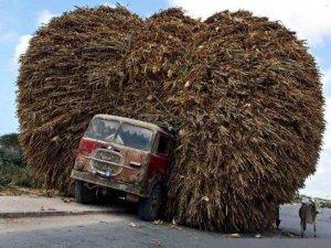 heel erg zwaar beladen vrachtwagen met een passerende koe